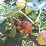 オオスズメバチの季節