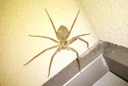 玄関にデカイ蜘蛛が