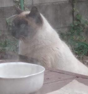 大晦日に出会ったシャムネコが庭にやってきた。